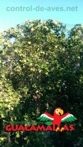 red pajarera