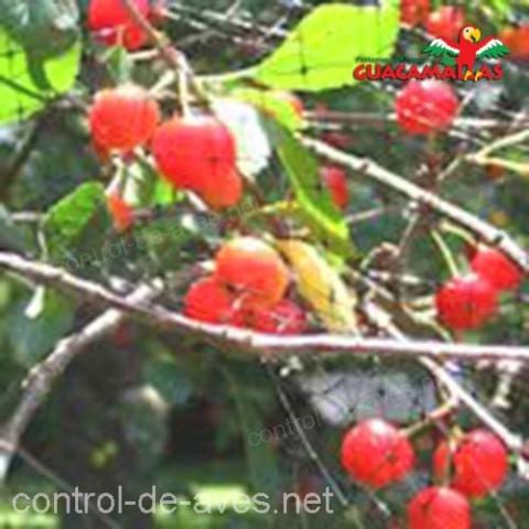 cultivo de cereza protegido con malla anti-aves GUACAMALLAS