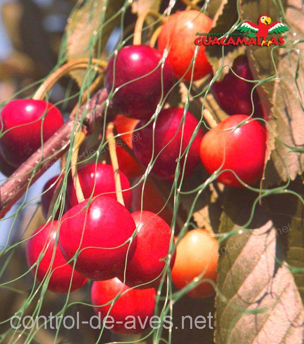 Cultivo de cerezas con malla anti-aves CHICKENMALLA