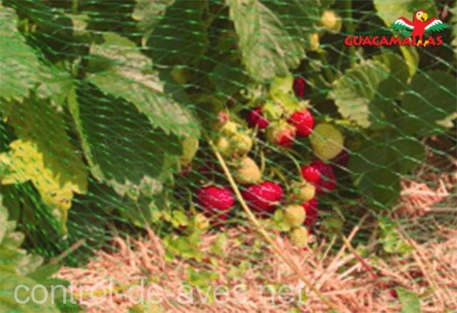 Aumenta la producción de fresas con malla anti-aves.