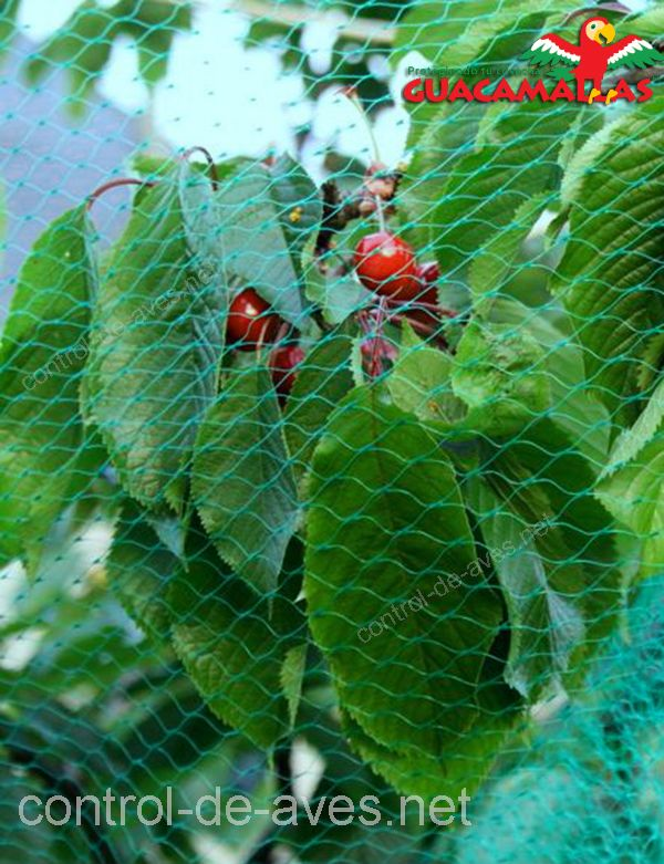Evita daños a tus cultivos de berries con malla anti aves GUACAMALLAS.