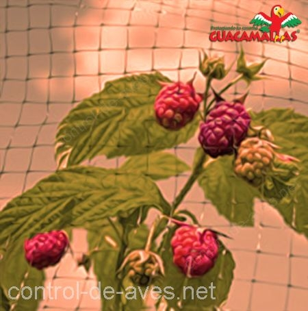 Aumenta la producción de berries con CHICKENMALLA.